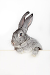 bunnyface