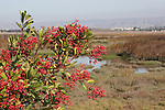 toyon berries and wetland