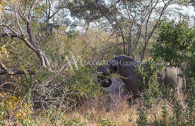 The African elephant is the world's largest land animal.  This large bull had no problem toppling this tree.  It only required a slight nudge.