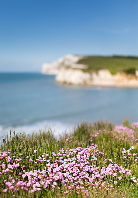 Wildflowers (thrift) on the cliffs at Freshwater Bay. Isle of Wight Landscape Photography