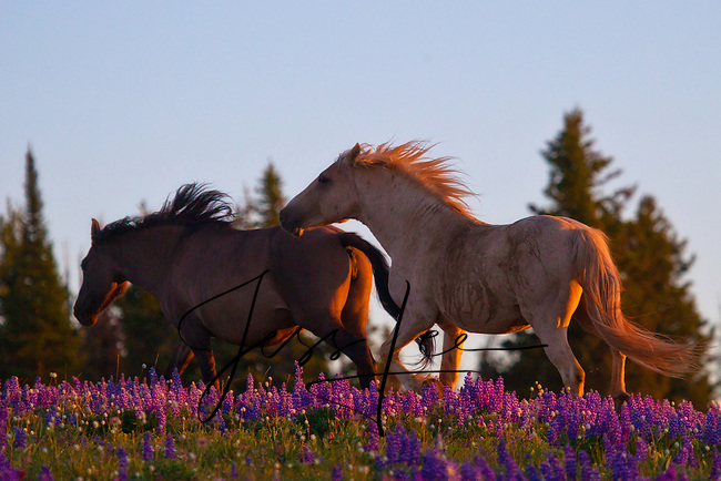 Prior Mountains Montana Wild Horse Photo Wild Horse Photography by western photographer Jess Lee. Pictures of mustangs in the West. Fine art images,Prints,photos Wild horse photo,wildhorses in the american west,