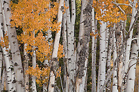 "An aspen grove in the Lizard Creek area of Grand Teton National Park, Wyoming.  Aspens spread by shoots from their ""mother"" tree. Large groves are entirely interconnected."