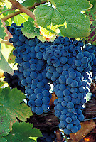 close-up of two bunches of purple grapes and leaves on vine in vineyard. winemaking, wine, crops, agriculture, agribusiness. California.