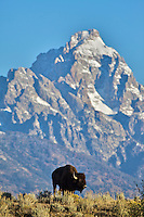 Grazing Bison, Grand Tetons, Grand Teton National Park, Jackson Hole, Wyoming