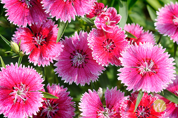 Dianthus- annual bedding plant.