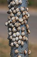 Ödland-Heideschnecke, Schneckenansammlung, Hitzeschutz, Cernuella cisalpina, Cernuella jonica, maritime gardensnail, Heideschnecken