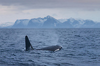 Killer whale - Orcinus orca, takes breath while swimming near Andenes, Vesterålen, Norway