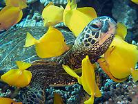 green sea turtle, Chelonia mydas, being cleaned by yellow tang, Zebrasoma flavescens, Puako, Kohala Coast, Big Island, Hawaii, USA, Pacific Ocean