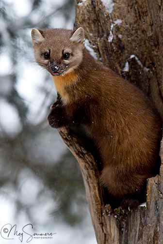 Martens(Martes americana) are found in conifer forests with understory of fallen logs and stumps; will use riparian areas, meadows, forest edges and rocky alpine areas. <br /> Martens eat primarily small mammals such as red backed<br /> voles, red squirrels, snowshoe<br /> hares, flying squirrels, chipmunks, mice and shrews; also to a lesser extent birds<br /> and eggs, amphibians and reptiles, earthworms,<br /> insects, fruit, berries, and carrion. NPS Yellowstone Resource 2011.