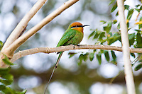 Bohm's BeeEater, Shire River, Liwonde NP, Malawi