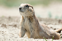 A prairie dog keeps watch from its burrow near Buffalo Camp on the American Prairie Reserve on Saturday.