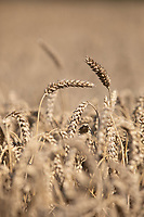 Wheat in Lincolnshire<br /> ©Tim Scrivener Photographer 07850 303986<br />      ....Covering Agriculture In The UK....
