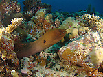 Blue Corner, Palau -- Moray eel at a reef cleaning station.
