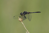 362690015 a wild male black meadowhawk sympetrum danae perches on a plant stem in mono county california