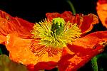 Stamen of an Emporer Poppy