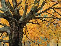 Maple Tree along Bass Lake, North Carolina