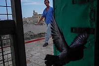 HAVANA, CUBA - JUNE 16: Cuban pigeon breeder Alberto Gutierrez, corals a pigeon back into his coop on a rooftop in Old Havana, Habana Vieja on June 16, 2015 in Havana, Cuba. <br /> Daniel Berehulak for Panasonic/Lumix