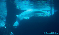 0418-1008  Beluga Swimming Underwater (White Whale), Delphinapterus leucas  © David Kuhn/Dwight Kuhn Photography.