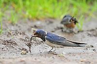 Rauchschwalbe, sammelt Schlamm als Nistmaterial, Rauch-Schwalbe, Schwalbe, Hirundo rustica, barn swallow
