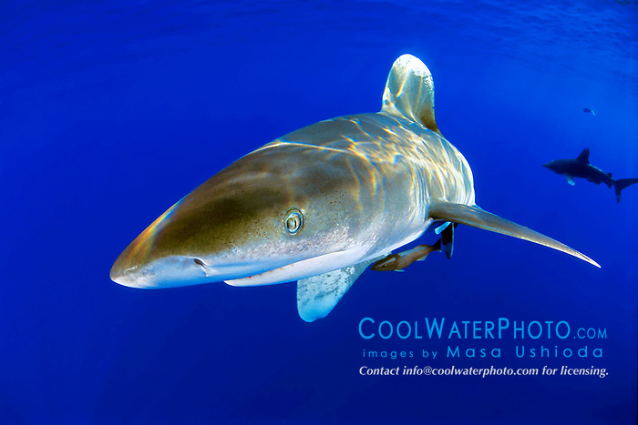 oceanic whitetip shark, Carcharhinus longimanus, Big Island, Hawaii, Pacific Ocean