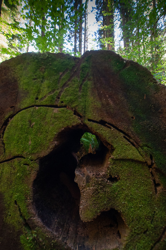 Fallen Tree Detail, Barnes Point, Olympic National Park, Washington, US