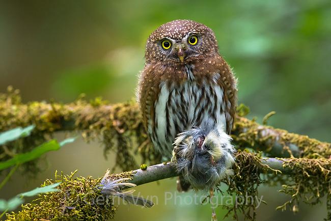 Northern Pygmy-Owl (Glaucidium gnoma). Multnomah County, Oregon. June.