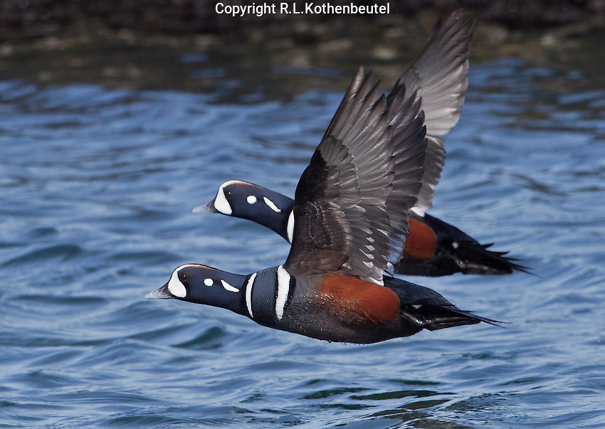 Harlequin duck (Histrionicus histrionicus) Two (2) adult drakes (males) in flight low over the water.<br /> Semiahmoo Resort near Blaine, Whatcom County, Washingto State<br /> 3/25/2012