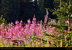 Fireweed, Silver Salmon Creek, Lake Clark National Park, Alaska