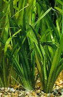 Zwergpfeilkraut, Zwerg-Pfeilkraut, Kleines Flutendes Pfeilkraut, Kleines Pfeilkraut, Schmalblättriges Pfeilkraut, Sagittaria subulata, awl-leaf arrowhead, dwarf sagittaria