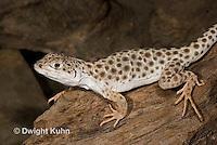 1R16-508z  Leopard Lizard, Gambelia wisilizenii