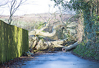 Saturday 10 January 2015<br /> Pictured: Fallen tree on Penllwyn Lane<br /> RE: Severe gales across Wales break in half a 100 year old beech tree from a garden causing it to fall across Penllwyn Lane in Graig-Y-Rhacca, Caerphilly, road closed.