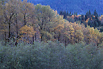 Forest with Autumn colors along the Elwha river on the Olympic Peninsula Washington State USA