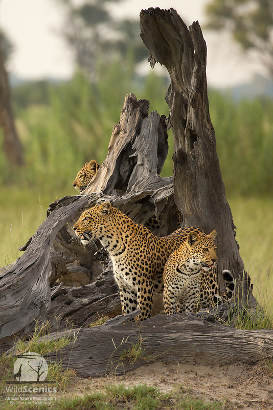 A mother leopard and her two cub scanning the flood plain from a beautiful dead tree perch.