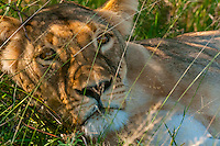Lioness, Nxai Pan National Park, Botswana.
