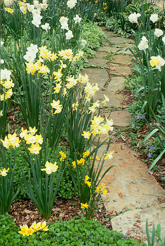 Stepping stone path lined by jonquils with vinca minor blooming through spring garden