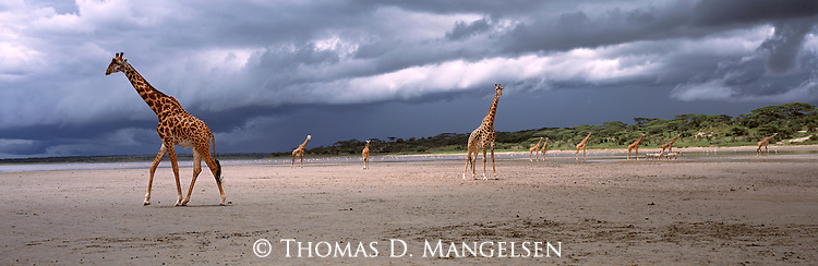 Giraffes await the arrival of the rains at Lake Ndutu in Serengeti National Park, Tanzania.