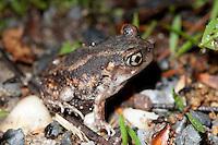Eastern Spadefoot Toad; Scaphiopus holbrooki; NJ, Belleplain; State Forest;