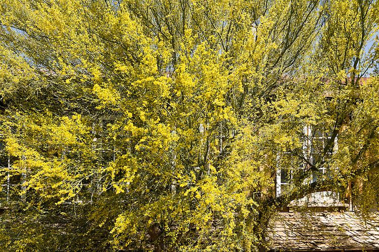 Bright, yellow blooming tree, Arizona