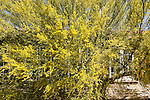 Bright, yellow blooming tree, Arizona