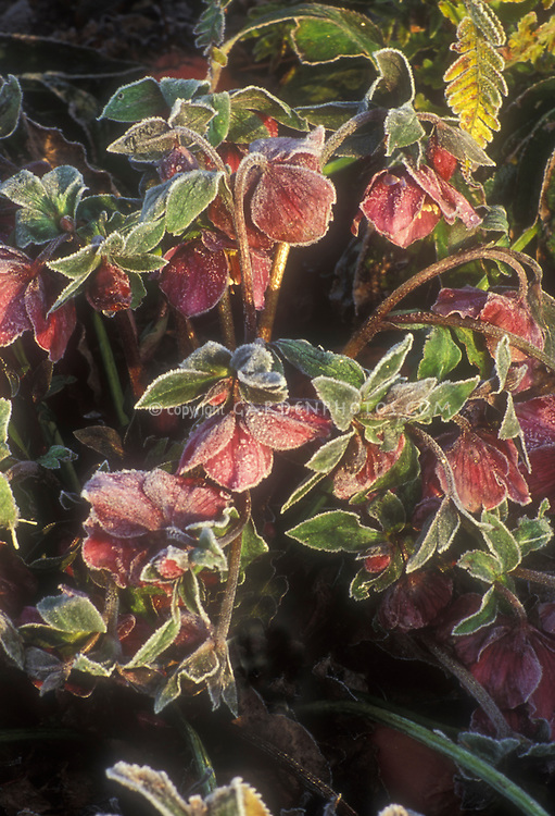 Helleborus orientalis Early Purple Group hellebore blooms in winter flowers with frost frosted snow . Rime on edges