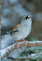 552200008v a wild yellow-eyed junco junco phaeonotus perches on a snow covered fir tree branch during a spring snowstorm in the mountains of southern arizona