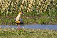 Black-faced Ibis