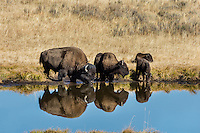 Bison drinking from small pond in upper Hayden Valley, Yellowstone NP, Wyoming.  September.