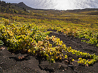 Flat growing grapevines root in the black volcanic ground that was left by the eruption of the volcano San Antonio in the year 1677.