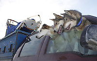 Sunday, March 4, 2012  Musher Colleen Robertia's dogs at the restart of Iditarod 2012 in Willow, Alaska.