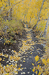 Hiking trail lined with autumn quaking aspen (Populus tremuloides) and black cottonwood (Populus trichocarpa) along Convict Lake, fall, Inyo National Forest, California