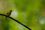 Ruddy-tailed Flycatcher (Terenotriccus erythrurus), Pipeline Road, Gamboa, Panama