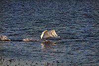 Mute Swan taking off from water in flight