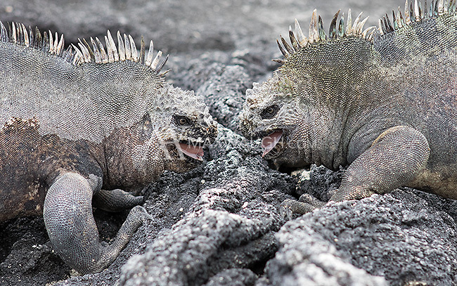 Marine iguanas are one of the iconic species of the Galapagos Islands.  Males duel for territory and mating rights by butting heads.