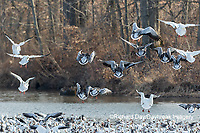 00754-02609 Snow Geese (Anser caerulescens) landing on lake Marion Co. IL